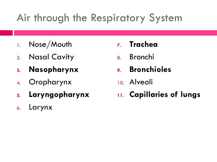 Air through the Respiratory System