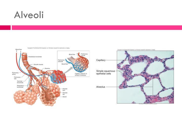 Alveoli