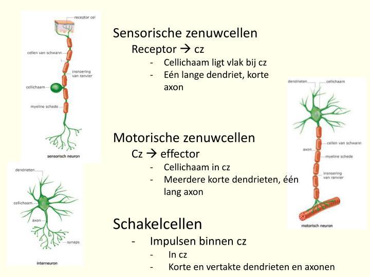 Sensorische zenuwcellen