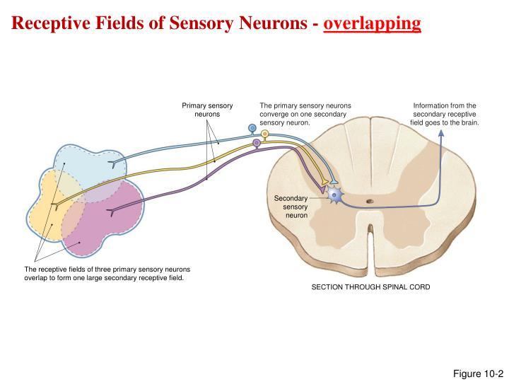 Receptive Fields of Sensory