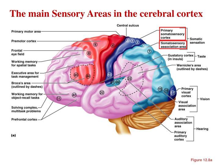 The main Sensory Areas in the cerebral cortex