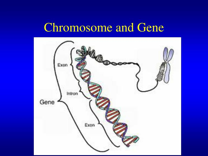 Chromosome and Gene