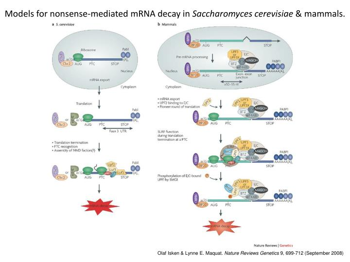 Models for nonsense-mediated mRNA decay in
