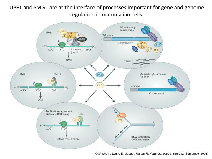 UPF1 and SMG1 are at the interface of processes important for gene and genome regulation in mammalian cells.