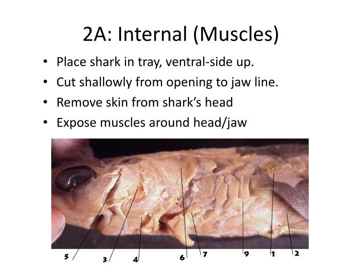 2A: Internal (Muscles)