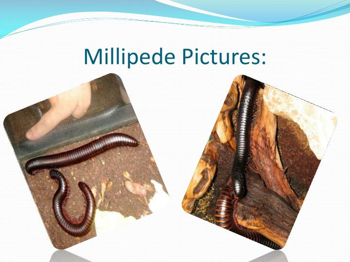 Millipede Pictures: