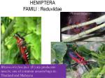 hemiptera famili reduviidae