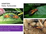 hemiptera family pyrrhocoridae