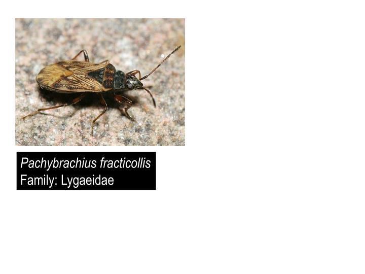 Pachybrachius