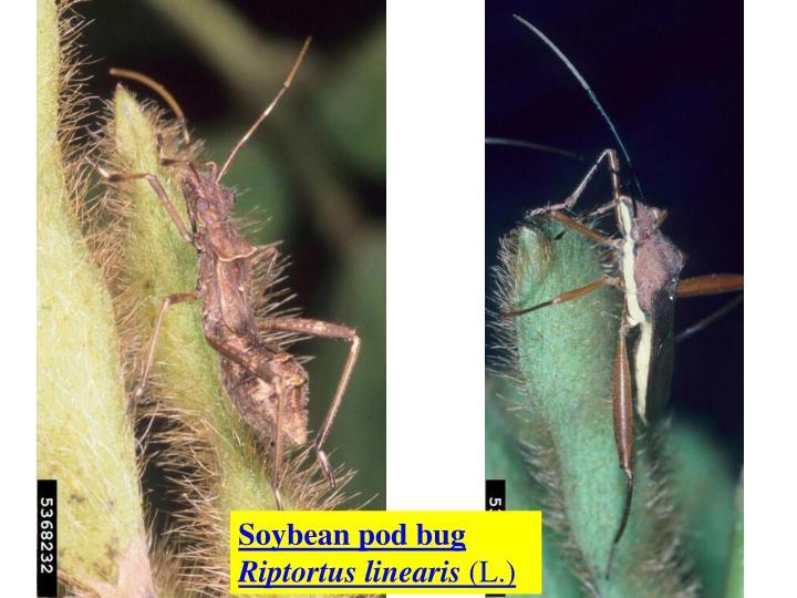 Soybean pod bug