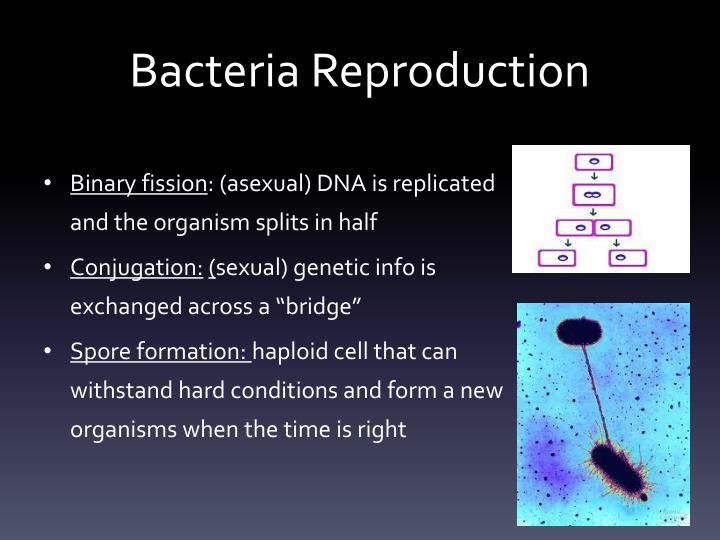 Bacteria Reproduction