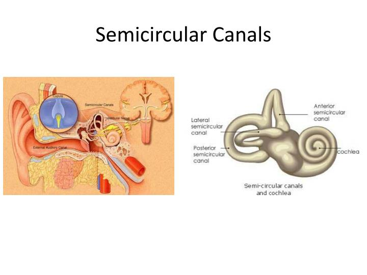 Semicircular Canals