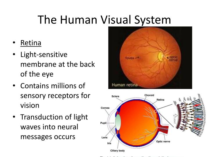 The Human Visual System