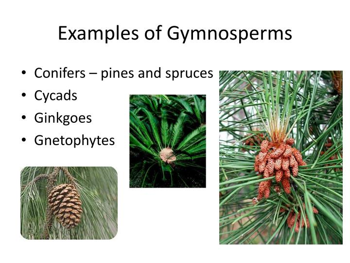 Examples of gymnosperms