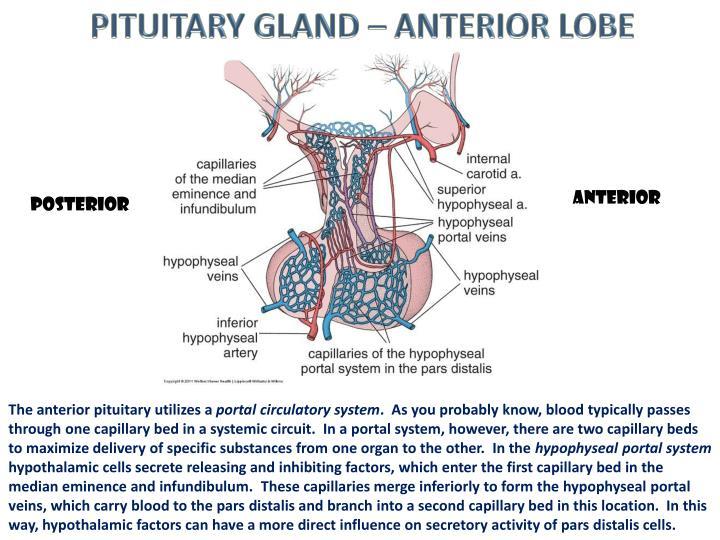 PITUITARY GLAND – ANTERIOR LOBE