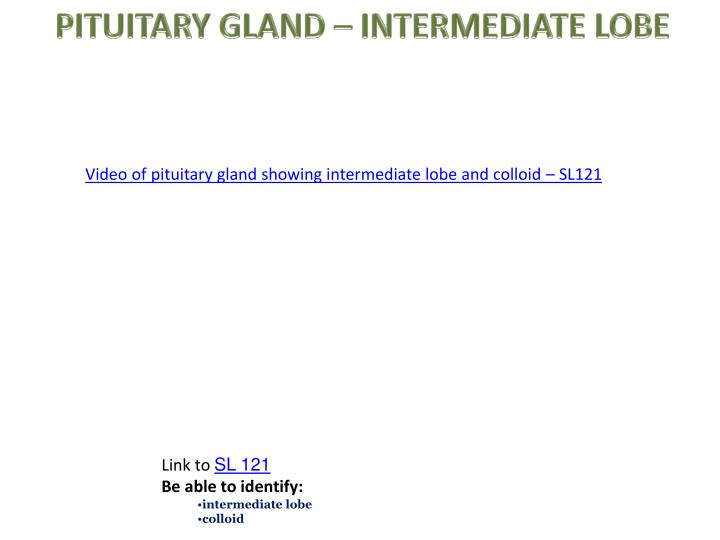 PITUITARY GLAND – INTERMEDIATE LOBE