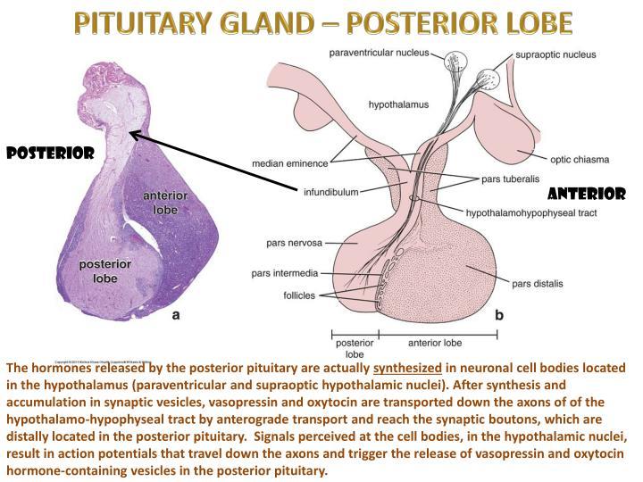 PITUITARY GLAND – POSTERIOR LOBE