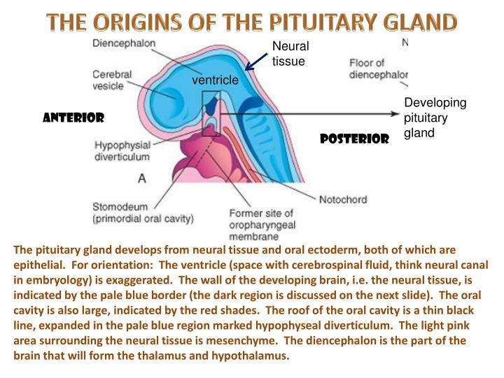 THE ORIGINS OF THE PITUITARY GLAND