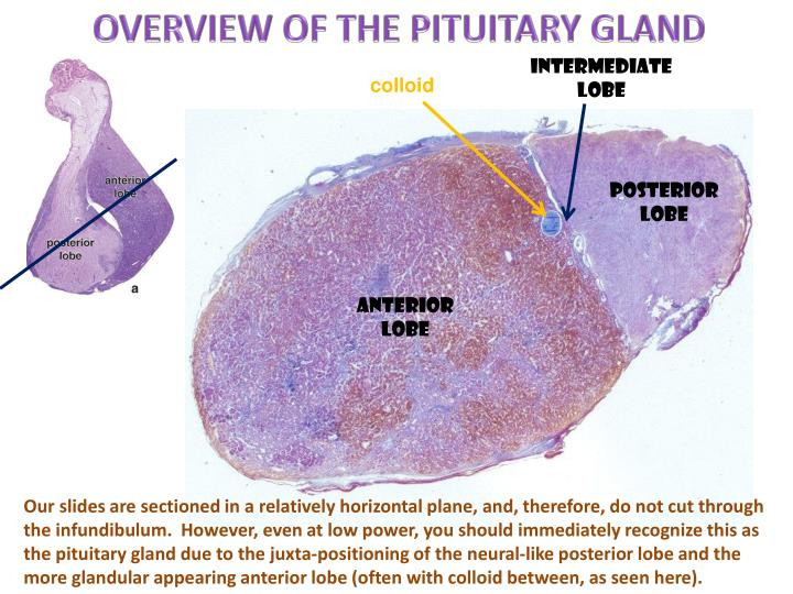 OVERVIEW OF THE PITUITARY GLAND