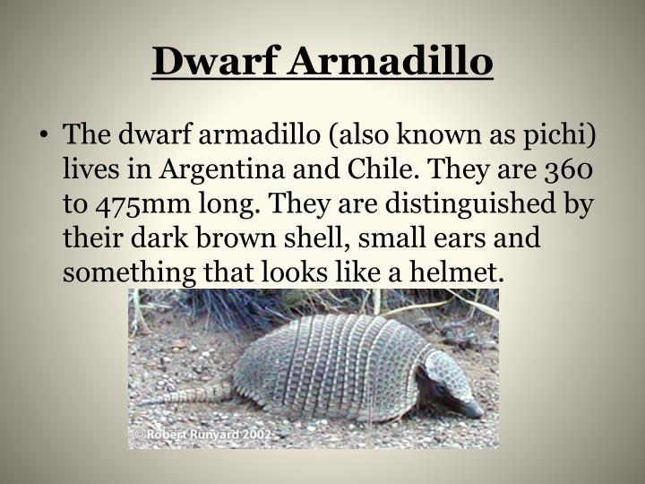 Dwarf Armadillo