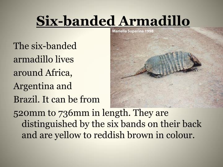 Six-banded Armadillo