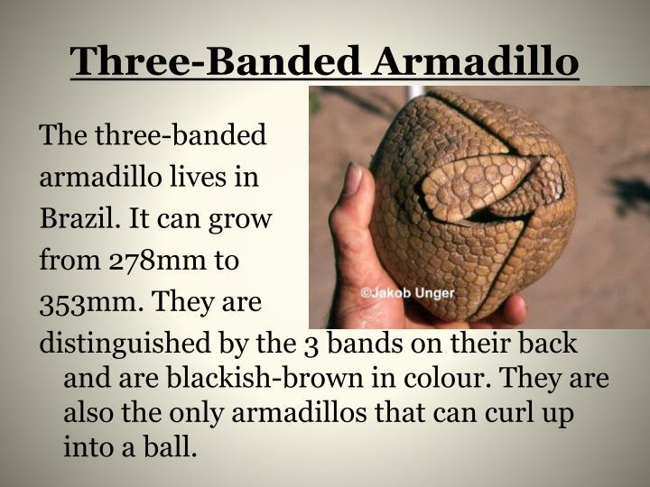 Three-Banded Armadillo