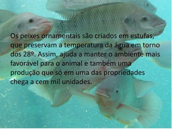 Os peixes ornamentais so criados em estufas, que preservam a temperatura da gua em torno dos 28. Assim, ajuda a manter o ambiente mais favorvel para o animal e tambm uma produo que s em uma das propriedades chega a cem mil unidades.