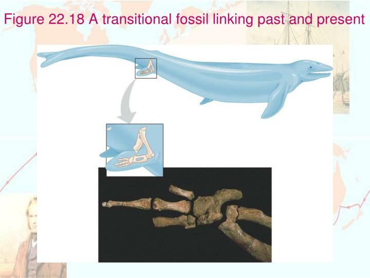 Figure 22.18 A transitional fossil linking past and present