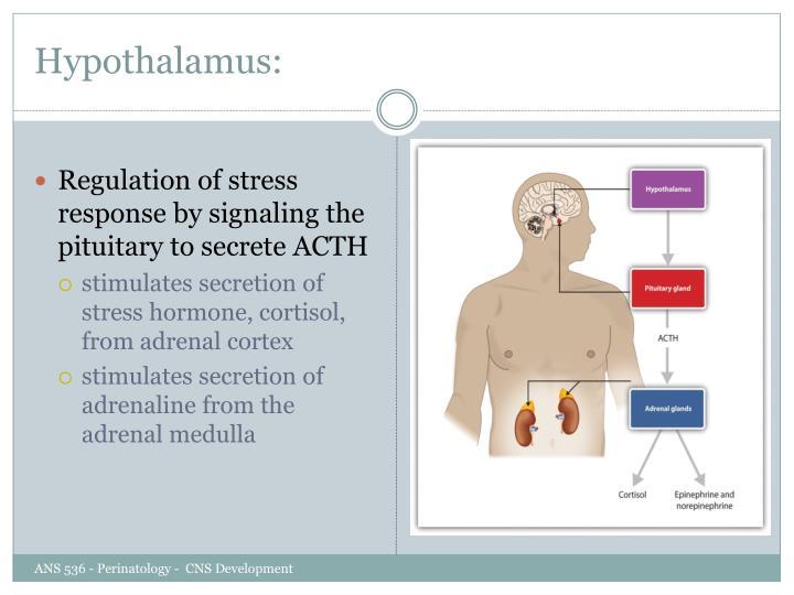 Hypothalamus: