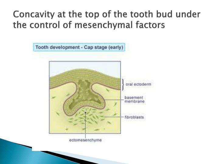 Concavity at the top of the tooth bud under the control of