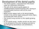 development of the dental papilla