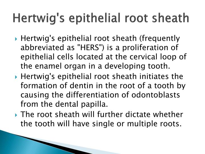 Hertwig's epithelial root sheath