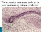the e xtension continues and can be seen condensing ectomesenchyme