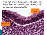 the flat and cylindrical epithelial cells basal lamina immediately below and ectomesenchymal cells