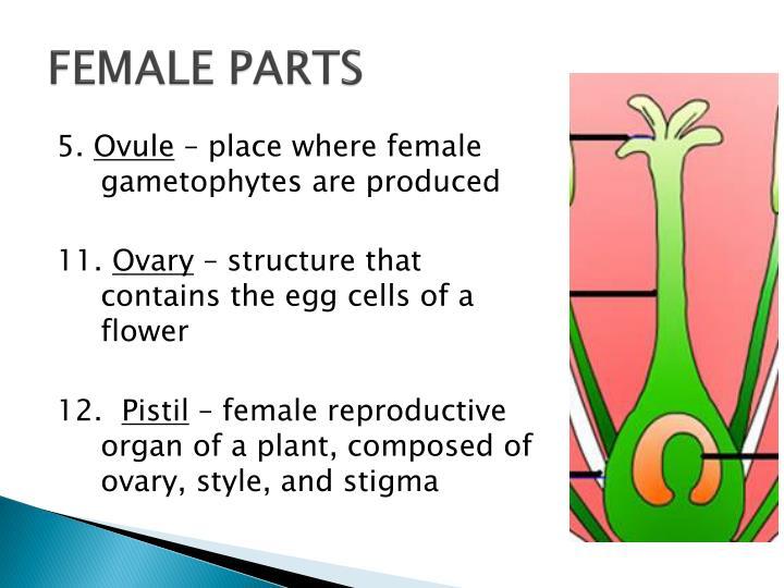 FEMALE PARTS