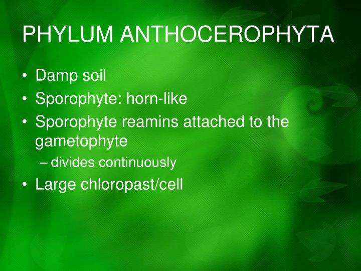 PHYLUM ANTHOCEROPHYTA