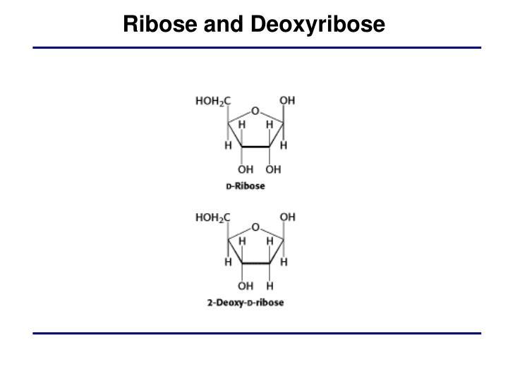 Ribose and Deoxyribose