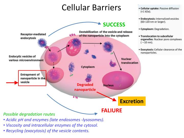 Cellular Barriers