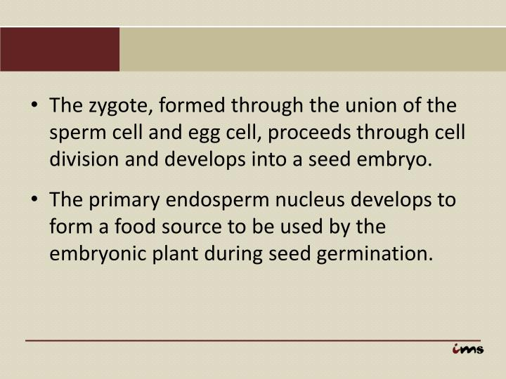 The zygote, formed through the union of the sperm cell and egg cell, proceeds through cell division and develops into a seed embryo.