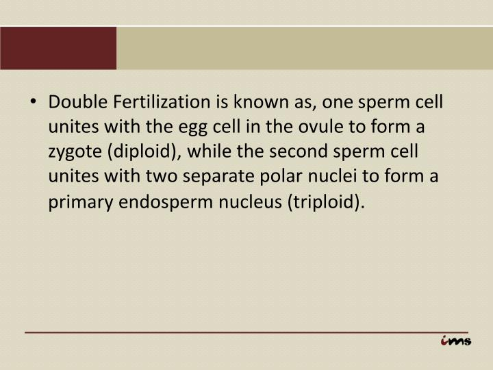 Double Fertilization is known as, one