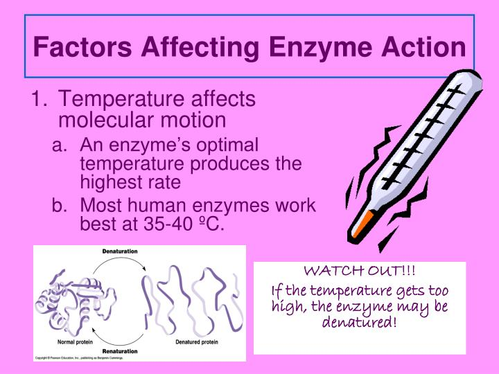 Factors Affecting Enzyme Action
