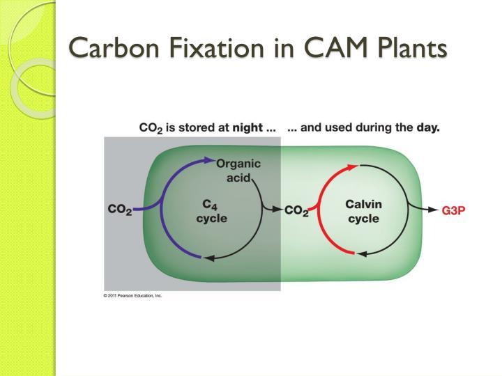 describe the light reaction of photosynthesis essay