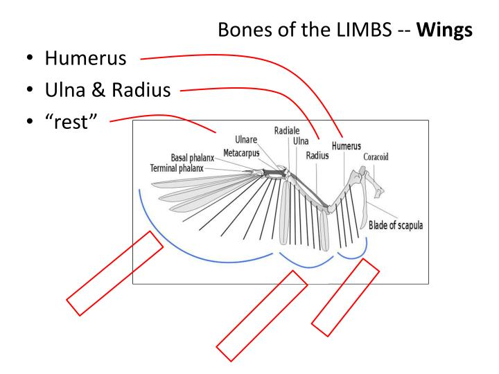 Bones of the LIMBS --