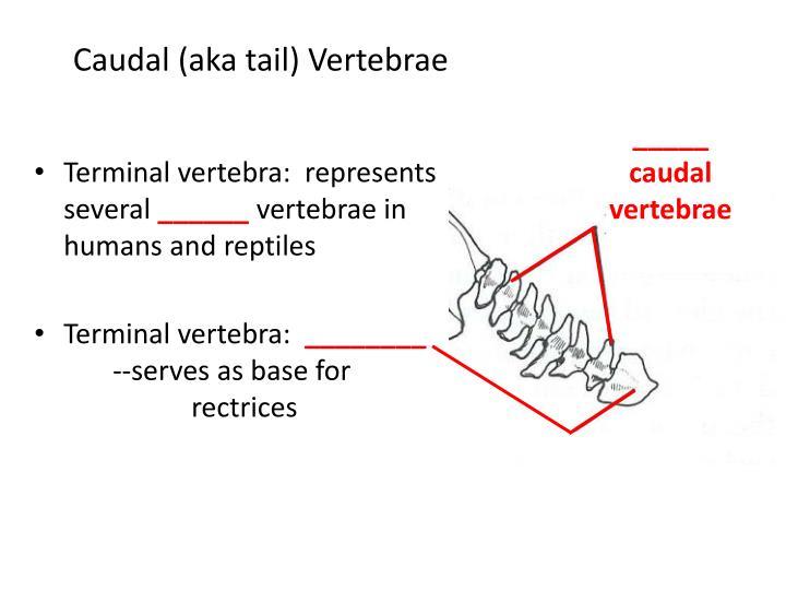 Caudal (aka tail) Vertebrae