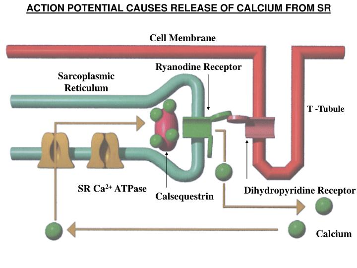 ACTION POTENTIAL CAUSES RELEASE OF CALCIUM FROM SR