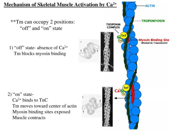 Mechanism of Skeletal Muscle Activation by Ca