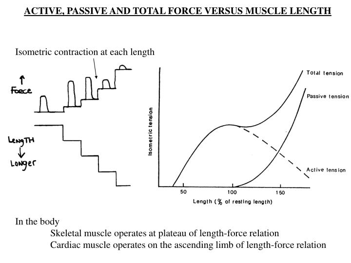 ACTIVE, PASSIVE AND TOTAL FORCE VERSUS MUSCLE LENGTH