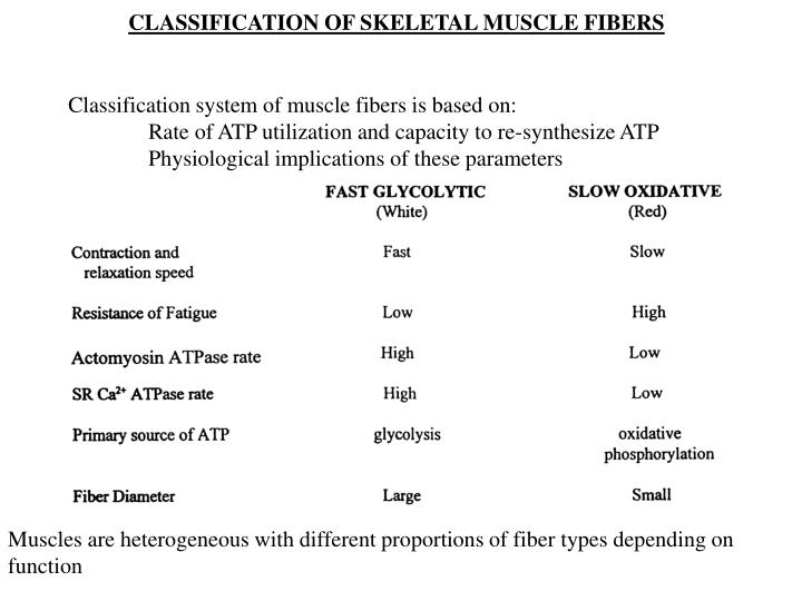 CLASSIFICATION OF SKELETAL MUSCLE FIBERS