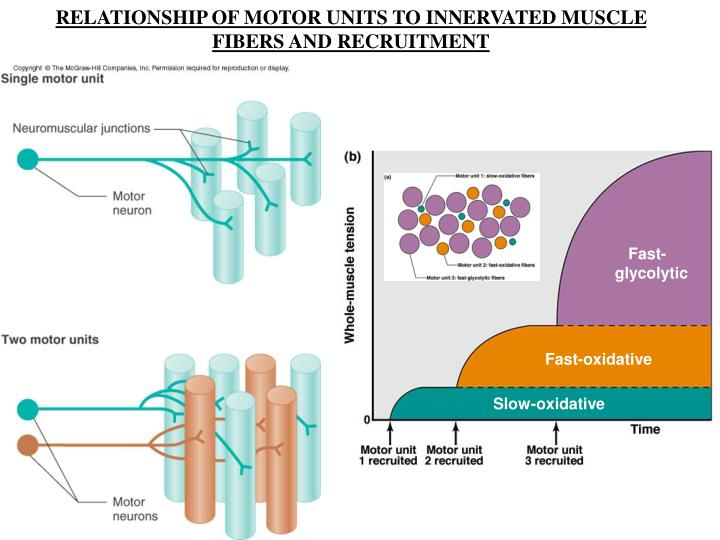 RELATIONSHIP OF MOTOR UNITS TO INNERVATED MUSCLE FIBERS AND RECRUITMENT