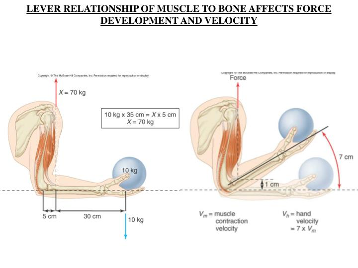 LEVER RELATIONSHIP OF MUSCLE TO BONE AFFECTS FORCE DEVELOPMENT AND VELOCITY